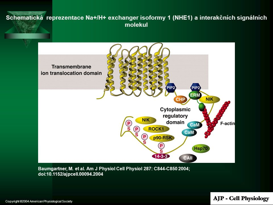Schematická reprezentace Na+/H+ exchanger isoformy 1 (NHE1) a interakčních signálních molekul