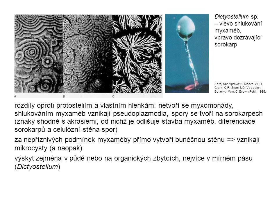 Dictyostelium sp. – vlevo shlukování myxaméb, vpravo dozrávající sorokarp.