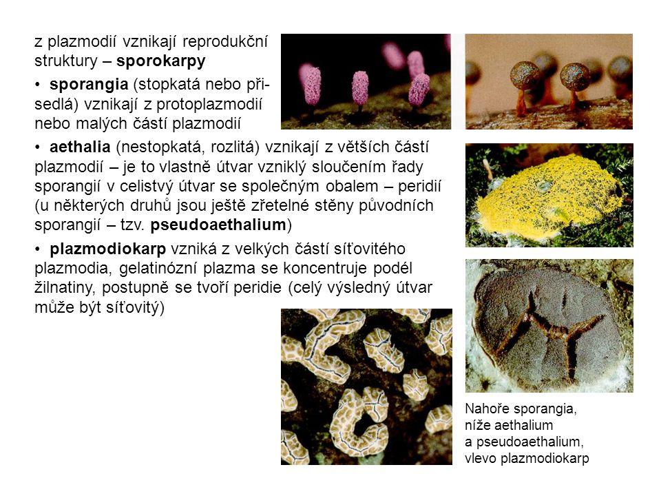 z plazmodií vznikají reprodukční struktury – sporokarpy