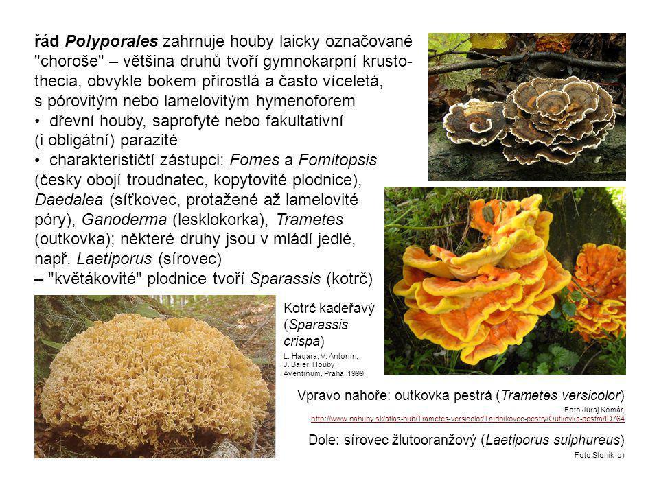 – květákovité plodnice tvoří Sparassis (kotrč)