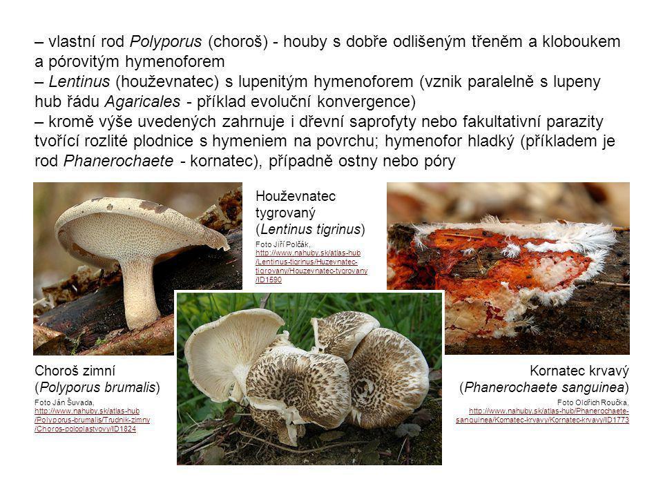– vlastní rod Polyporus (choroš) - houby s dobře odlišeným třeněm a kloboukem a pórovitým hymenoforem – Lentinus (houževnatec) s lupenitým hymenoforem (vznik paralelně s lupeny hub řádu Agaricales - příklad evoluční konvergence) – kromě výše uvedených zahrnuje i dřevní saprofyty nebo fakultativní parazity tvořící rozlité plodnice s hymeniem na povrchu; hymenofor hladký (příkladem je rod Phanerochaete - kornatec), případně ostny nebo póry