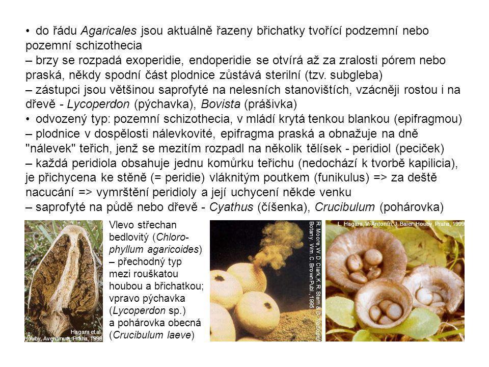 • do řádu Agaricales jsou aktuálně řazeny břichatky tvořící podzemní nebo pozemní schizothecia