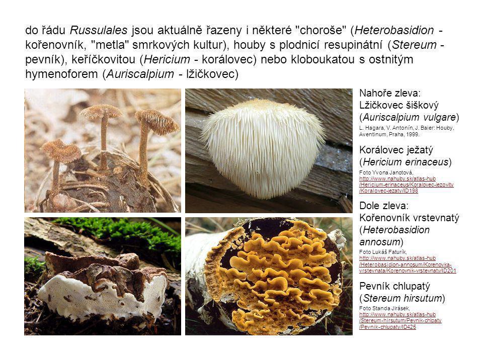 do řádu Russulales jsou aktuálně řazeny i některé choroše (Heterobasidion - kořenovník, metla smrkových kultur), houby s plodnicí resupinátní (Stereum - pevník), keříčkovitou (Hericium - korálovec) nebo kloboukatou s ostnitým hymenoforem (Auriscalpium - lžičkovec)