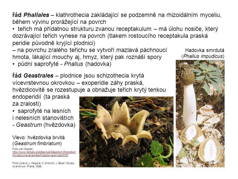 řád Geastrales – plodnice jsou schizothecia krytá