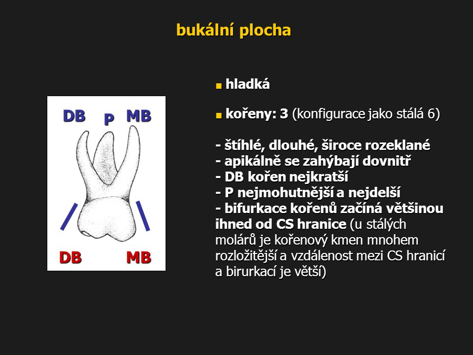 bukální plocha DB MB P - štíhlé, dlouhé, široce rozeklané