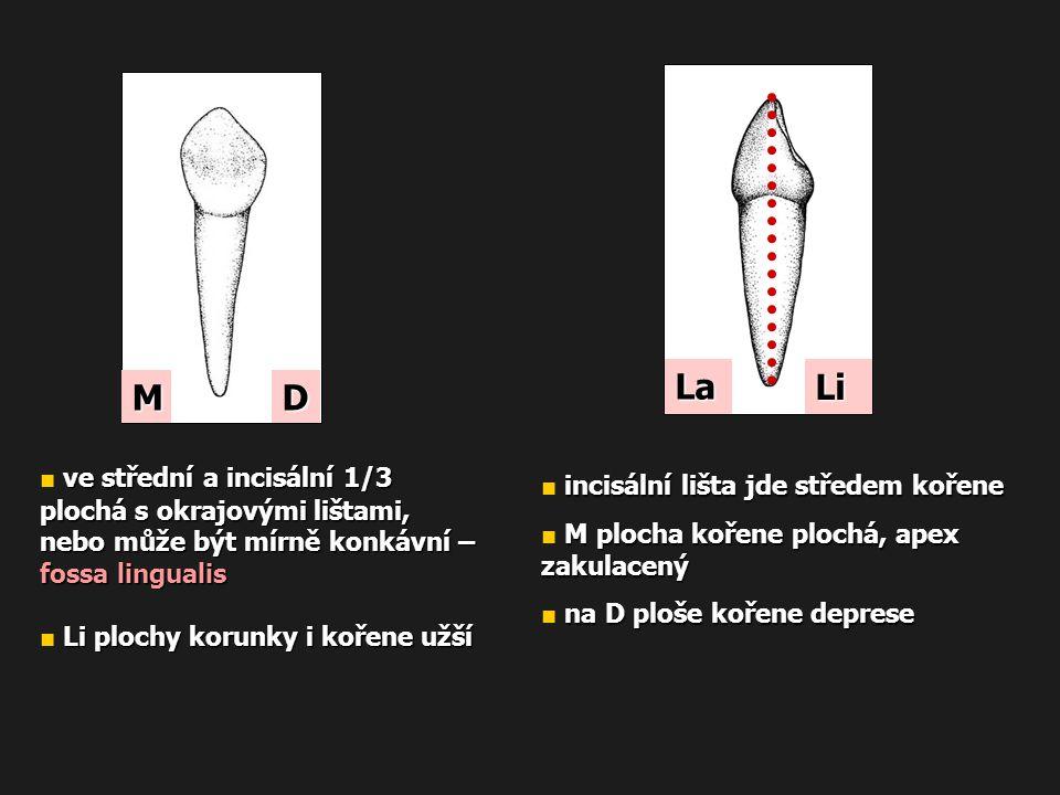 La Li M D ■ ve střední a incisální 1/3 plochá s okrajovými lištami,