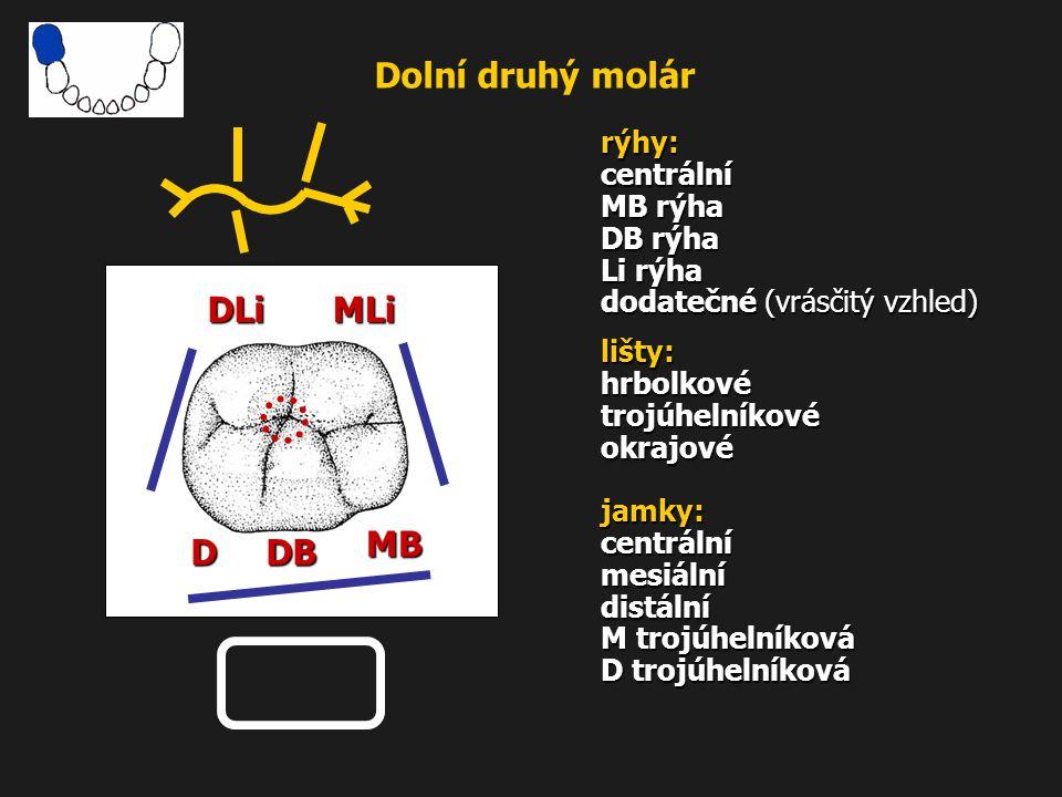 Dolní druhý molár DLi MLi MB D DB