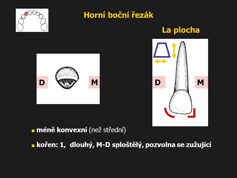 Horní boční řezák La plocha M D M D ■ méně konvexní (než střední)