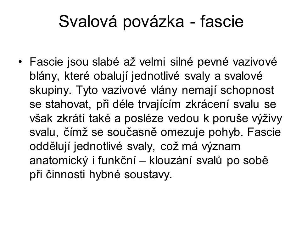 Svalová povázka - fascie