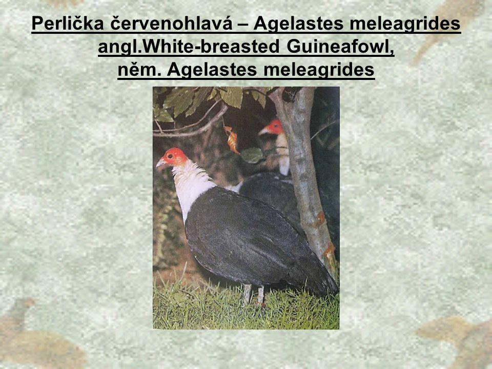 Perlička červenohlavá – Agelastes meleagrides angl