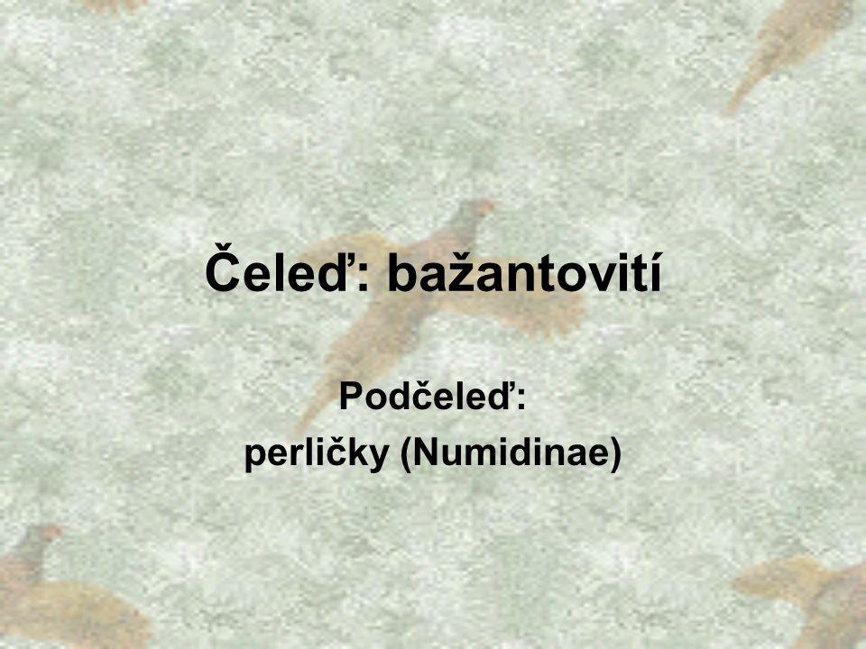 Podčeleď: perličky (Numidinae)