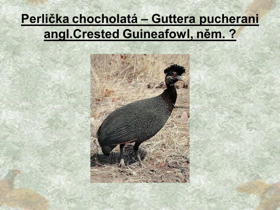 Perlička chocholatá – Guttera pucherani angl.Crested Guineafowl, něm.