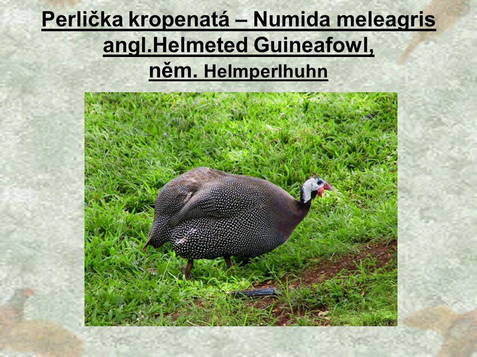 Perlička kropenatá – Numida meleagris angl. Helmeted Guineafowl, něm