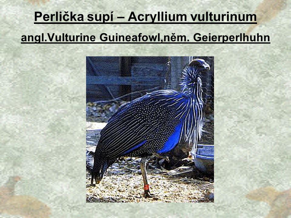 Perlička supí – Acryllium vulturinum angl. Vulturine Guineafowl,něm