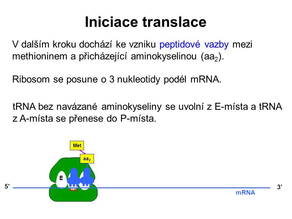 Iniciace translace V dalším kroku dochází ke vzniku peptidové vazby mezi methioninem a přicházející aminokyselinou (aa2).