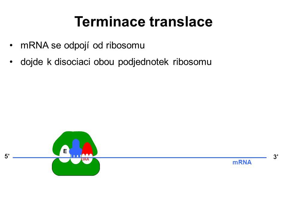 Terminace translace mRNA se odpojí od ribosomu