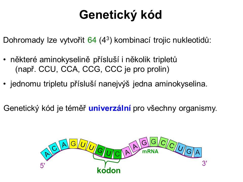 Genetický kód Dohromady lze vytvořit 64 (43) kombinací trojic nukleotidů: některé aminokyselině přísluší i několik tripletů.