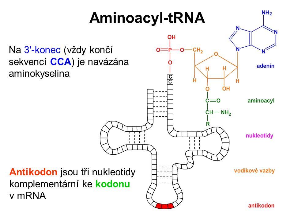 Aminoacyl-tRNA Na 3 -konec (vždy končí sekvencí CCA) je navázána aminokyselina.