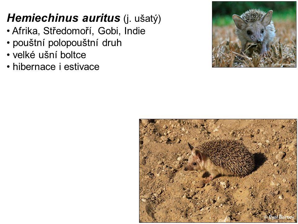 Hemiechinus auritus (j. ušatý)