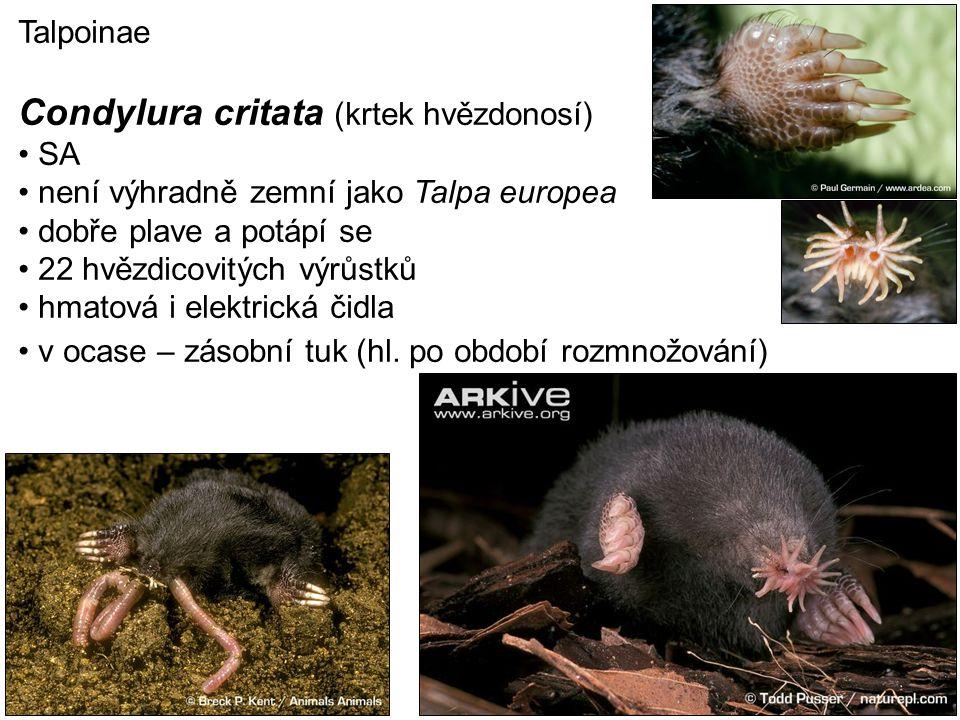 Condylura critata (krtek hvězdonosí)