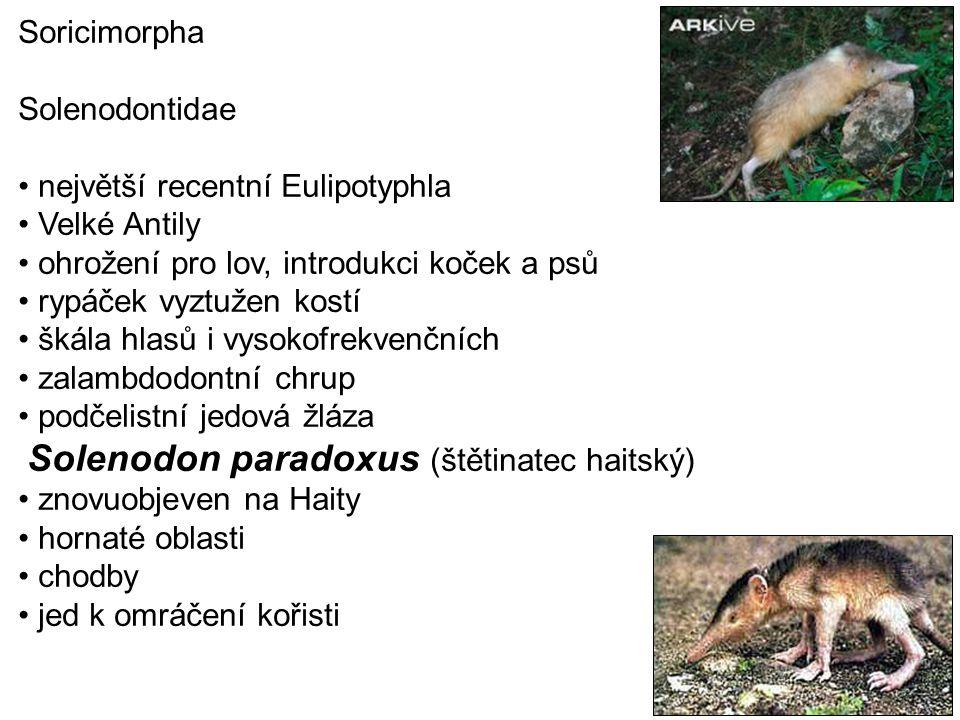 Soricimorpha Solenodontidae. největší recentní Eulipotyphla. Velké Antily. ohrožení pro lov, introdukci koček a psů.