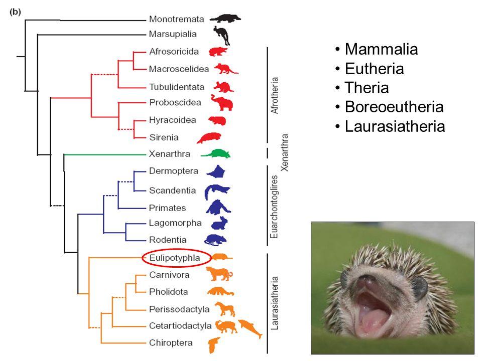 Mammalia Eutheria Theria Boreoeutheria Laurasiatheria