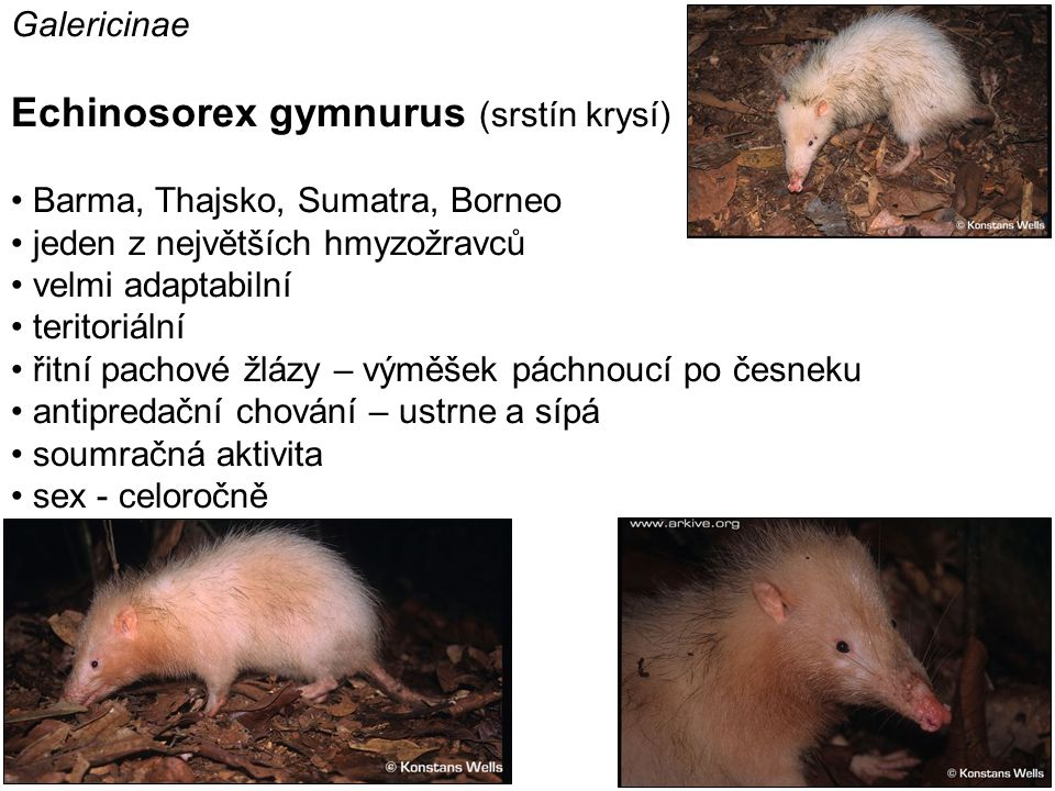 Echinosorex gymnurus (srstín krysí)