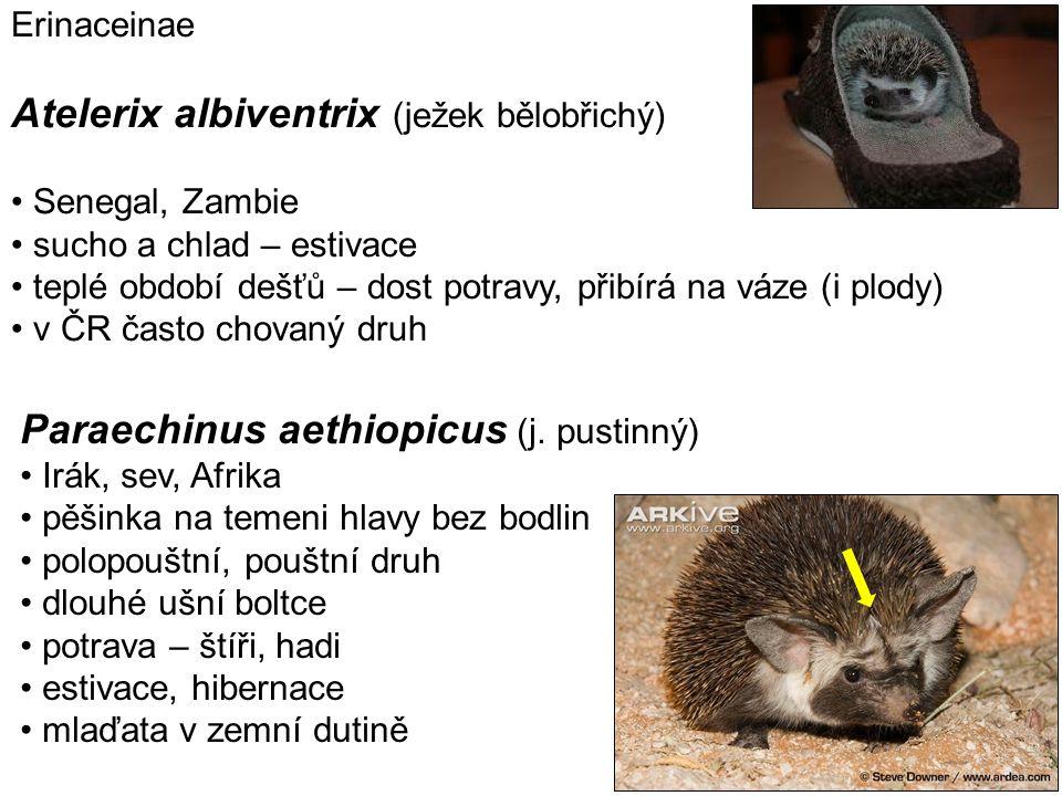Atelerix albiventrix (ježek bělobřichý)
