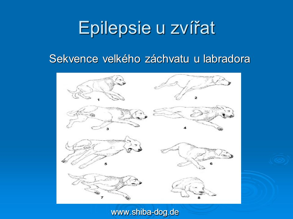 Epilepsie u zvířat Sekvence velkého záchvatu u labradora