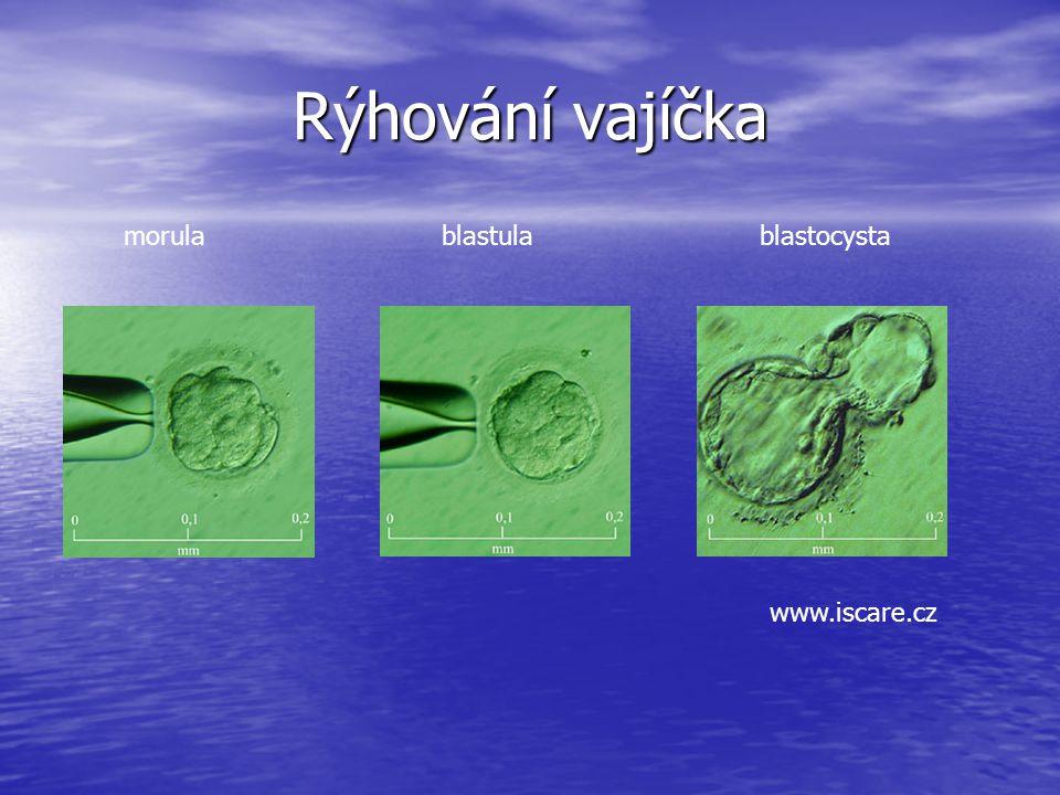 Rýhování vajíčka morula blastula blastocysta www.iscare.cz