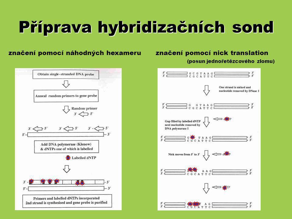 Příprava hybridizačních sond