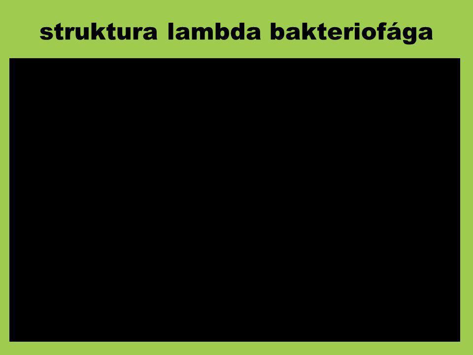 struktura lambda bakteriofága
