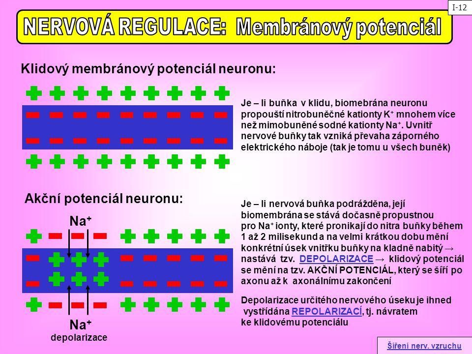 NERVOVÁ REGULACE: Membránový potenciál Akční potenciál neuronu: