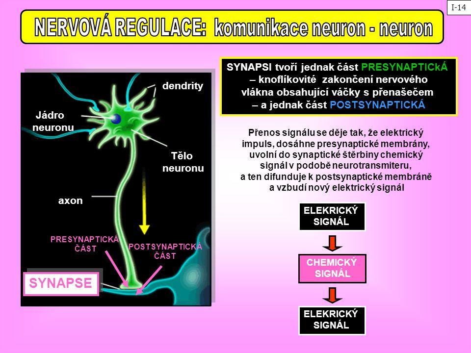NERVOVÁ REGULACE: komunikace neuron - neuron