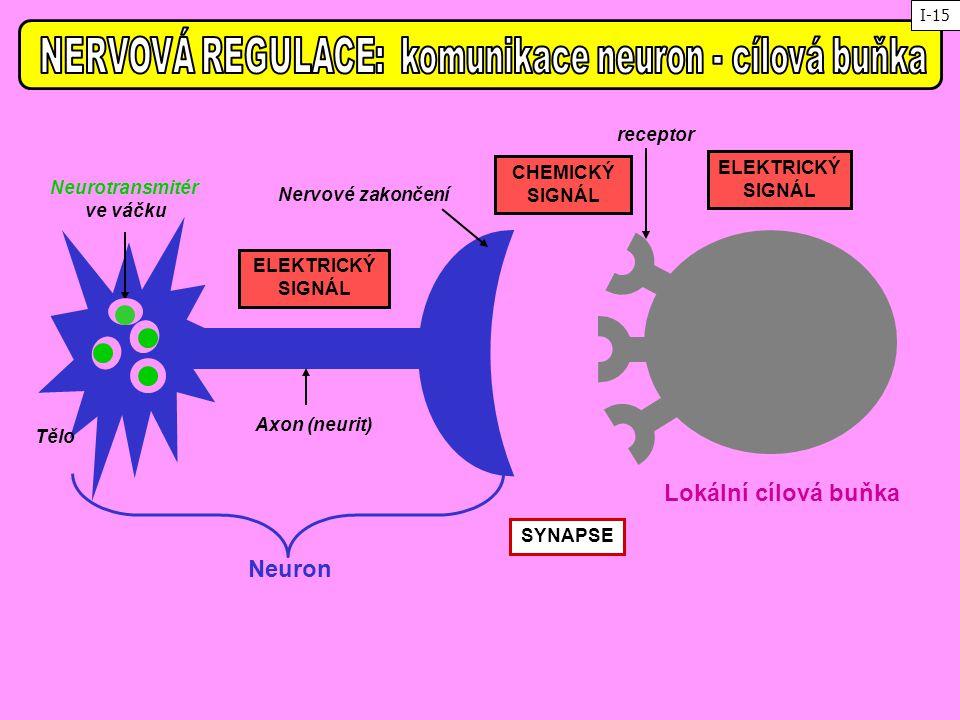 NERVOVÁ REGULACE: komunikace neuron - cílová buňka