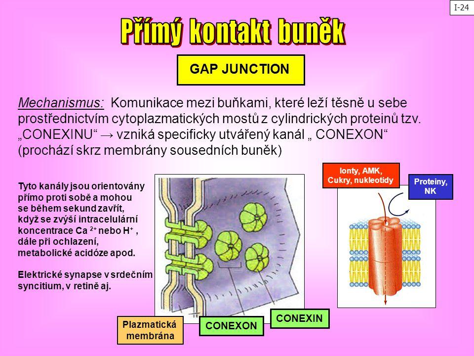 Přímý kontakt buněk GAP JUNCTION