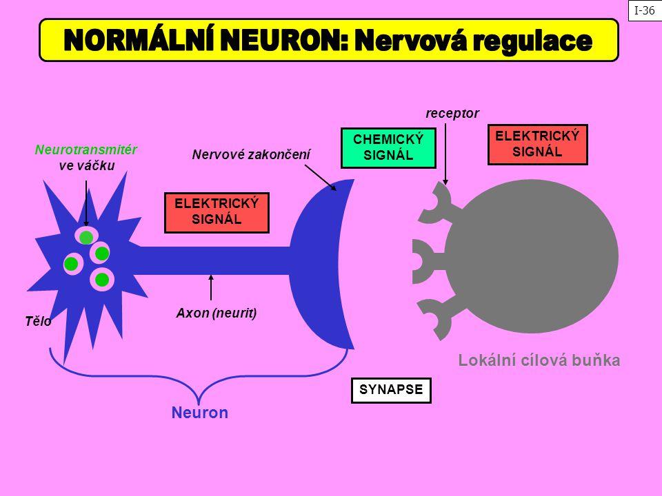 NORMÁLNÍ NEURON: Nervová regulace