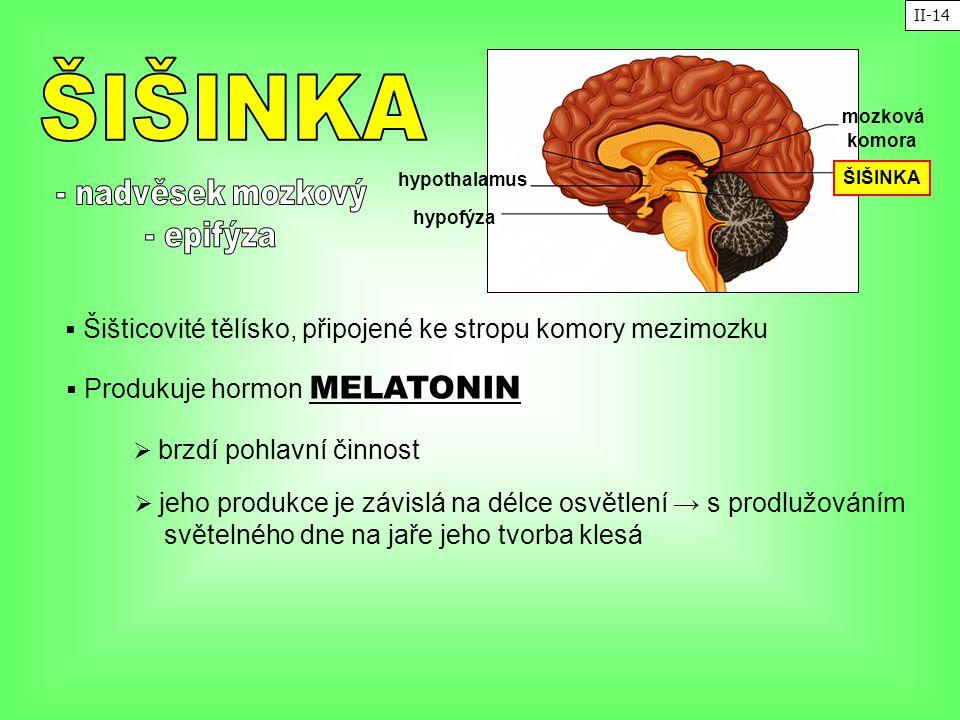 ŠIŠINKA - nadvěsek mozkový - epifýza