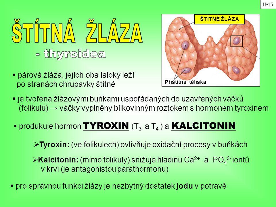 - thyroidea ŠTÍTNÁ ŽLÁZA párová žláza, jejích oba laloky leží