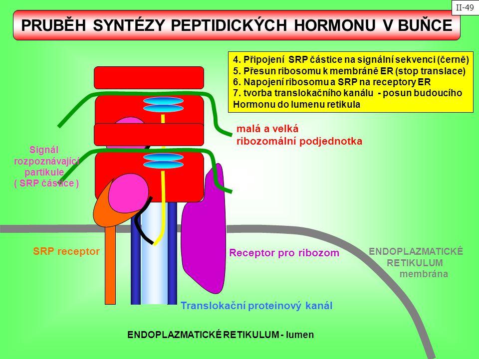 PRUBĚH SYNTÉZY PEPTIDICKÝCH HORMONU V BUŇCE