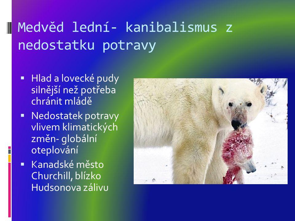 Medvěd lední- kanibalismus z nedostatku potravy