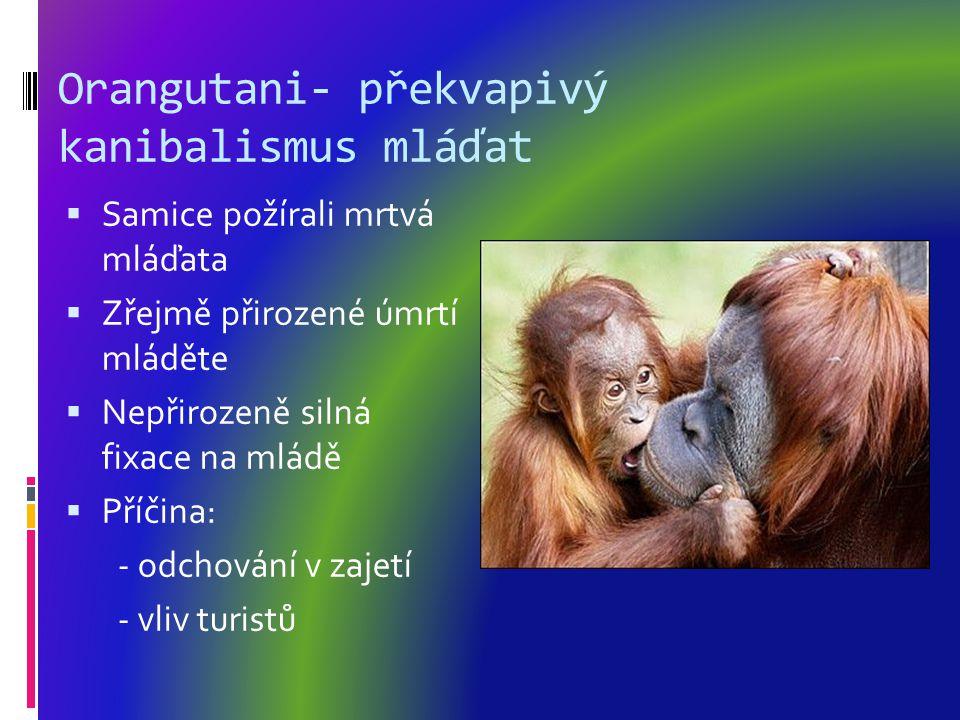Orangutani- překvapivý kanibalismus mláďat