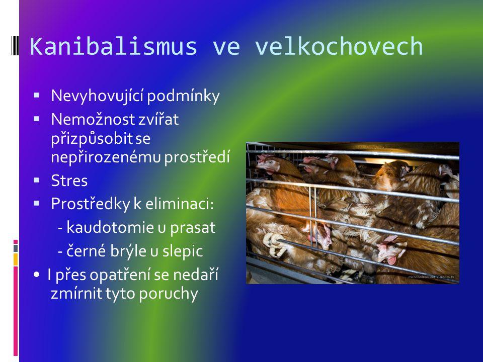 Kanibalismus ve velkochovech