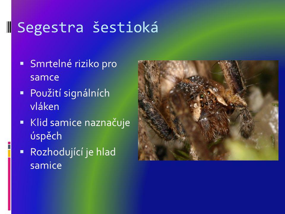 Segestra šestioká Smrtelné riziko pro samce Použití signálních vláken
