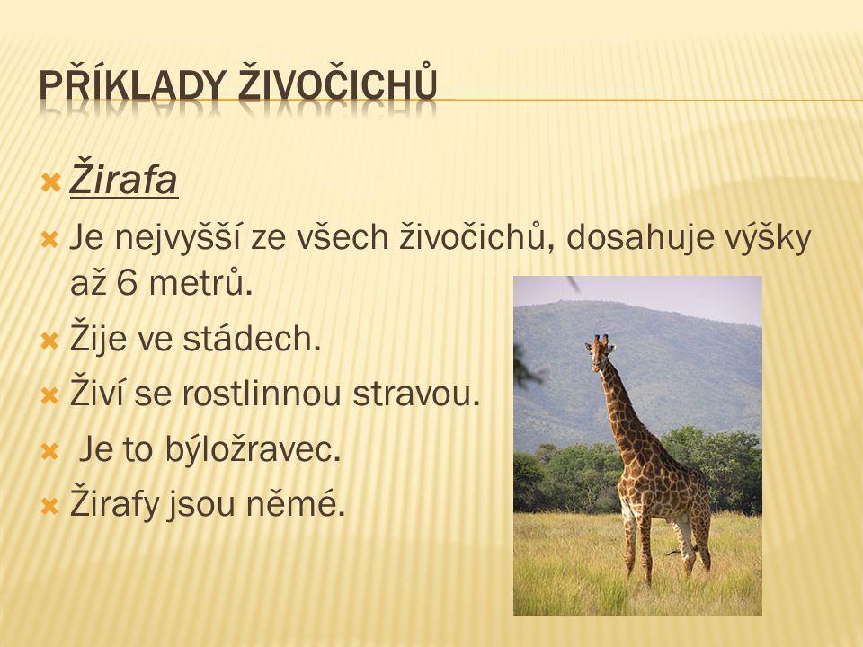 Příklady živočichů Žirafa
