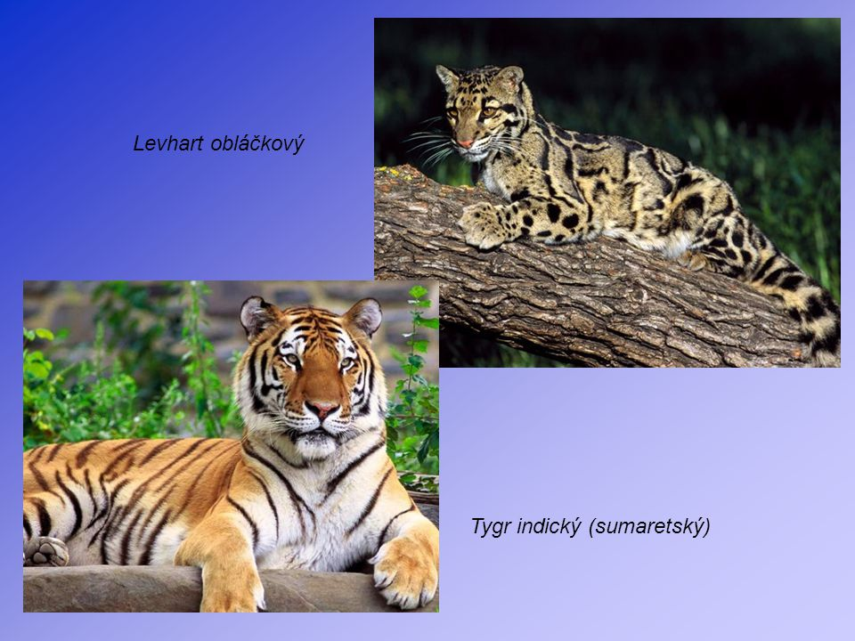 Levhart obláčkový Tygr indický (sumaretský)