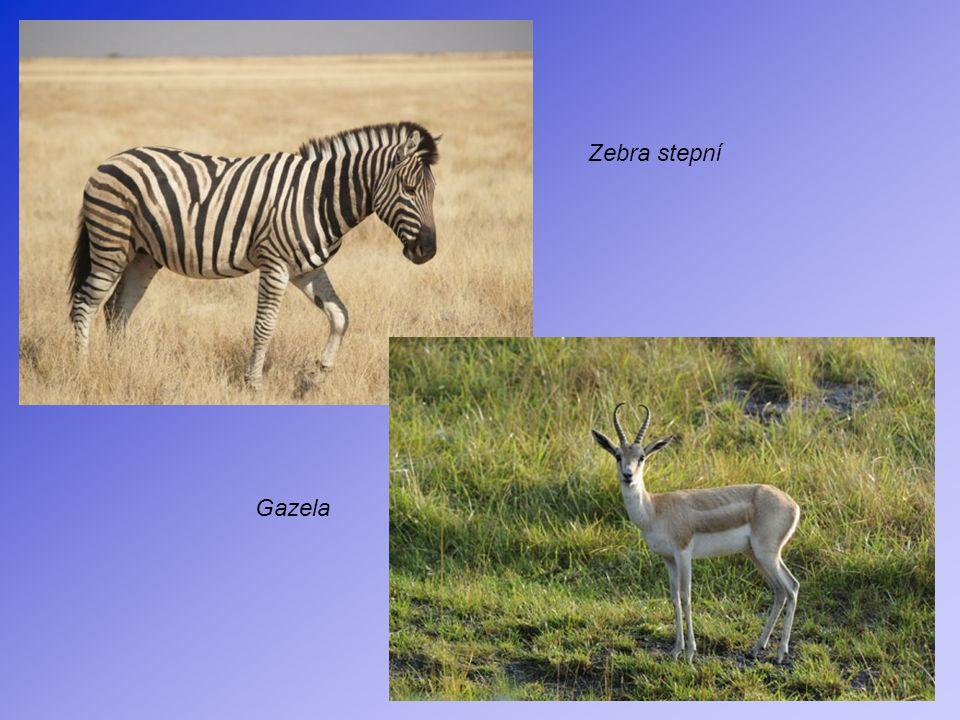 Zebra stepní Gazela