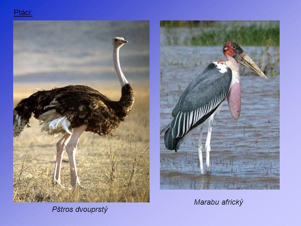 Ptáci: Marabu africký Pštros dvouprstý