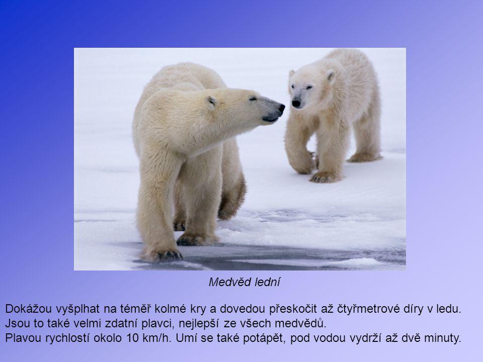 Medvěd lední Dokážou vyšplhat na téměř kolmé kry a dovedou přeskočit až čtyřmetrové díry v ledu.