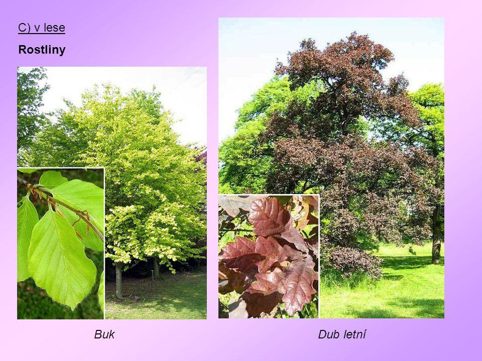 C) v lese Rostliny Buk Dub letní